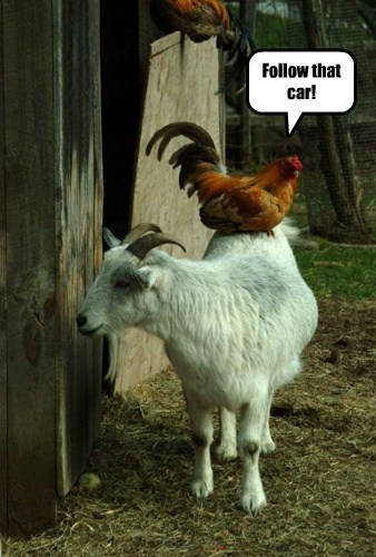 goats roosters - 7887883008