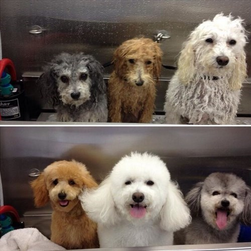 dogs,bath,Before And After,wet dogs