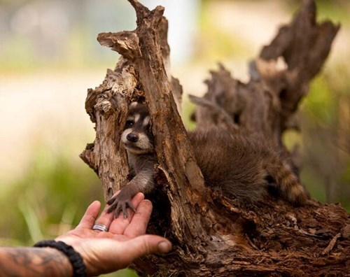 Babies cute raccoons squee - 7889126912