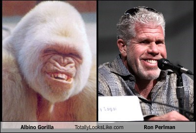 albino gorilla gorillas totally looks like Ron Perlman