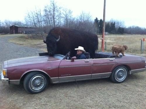 BAMF,buffalo,funny,pets