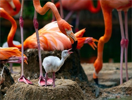 Babies flamingos cute - 7891170048