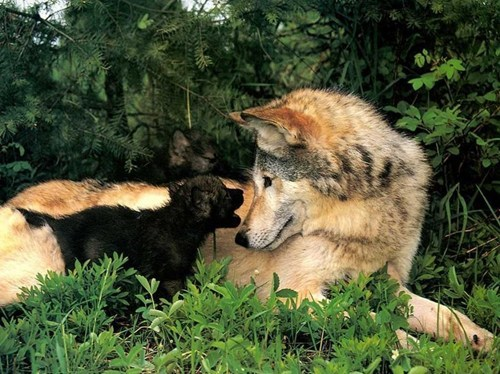 wolves,howl,puppies,cute