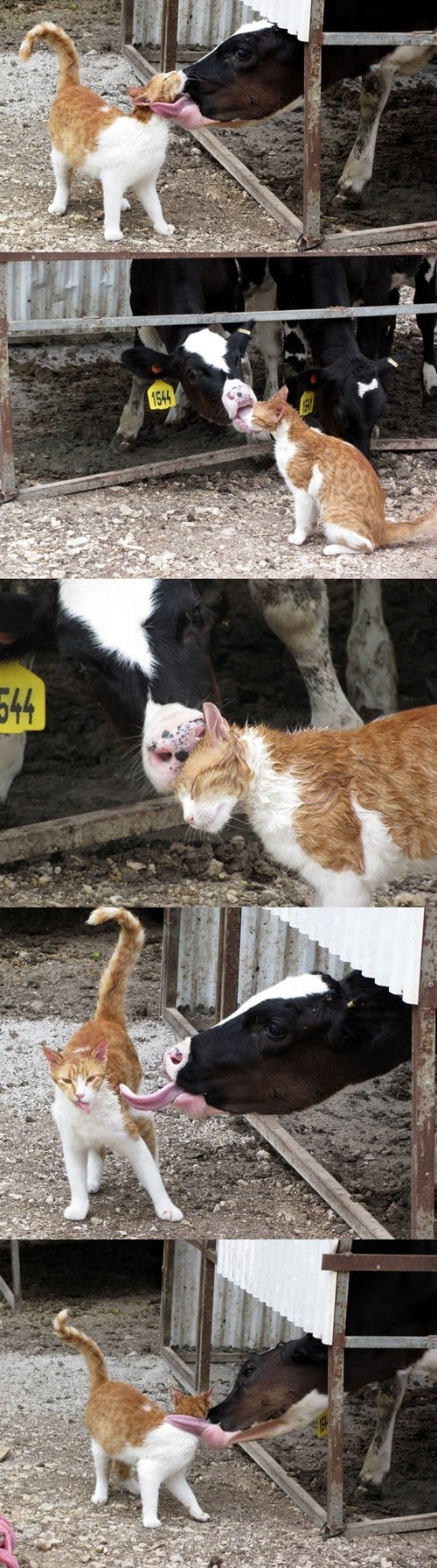 Cats cute cows kisses friendship