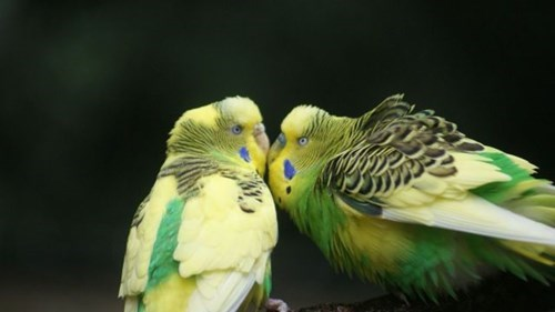 cute birds kissing squee parakeets budgerigars - 7892419840