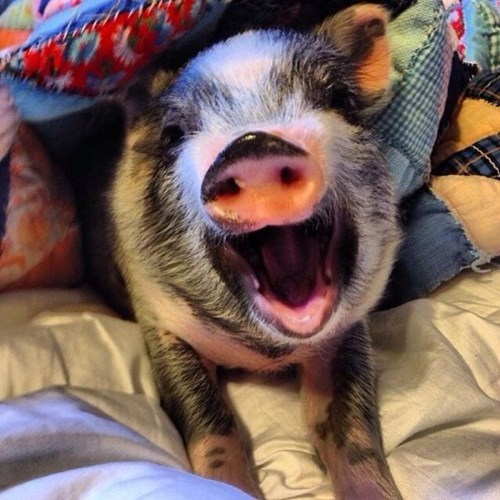 cute bed snuggle snout pig squee - 7892421888
