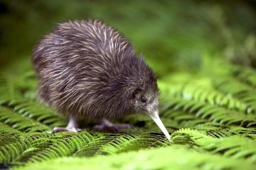 cute birds exotic kiwis - 7892446464