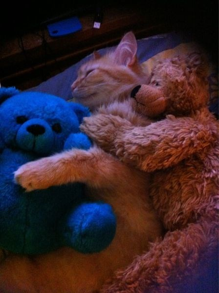 Cats cuddle stuffed animal kitten sandwich teddy bear