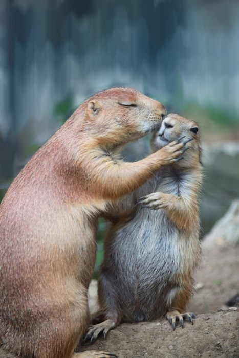 cute gophers kissing squee - 7892518656