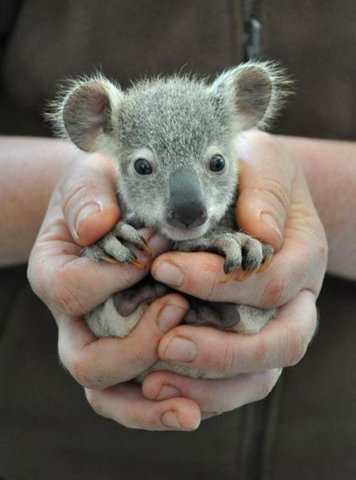 cute,australia,squee,baby koalas