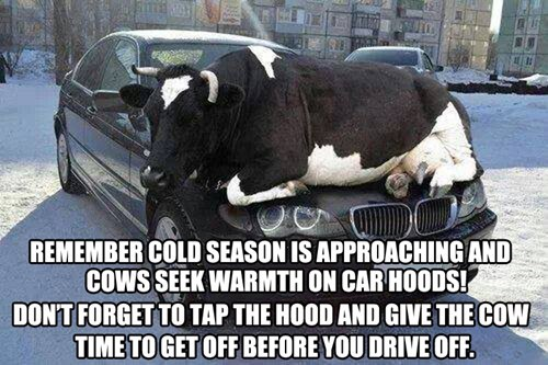 car,warm up,cold,cows