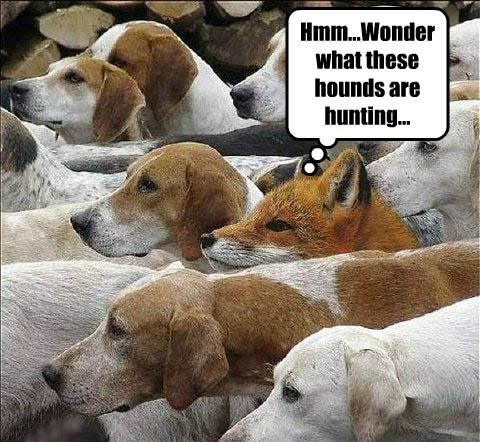 foxes clever hunting funny - 7894842112