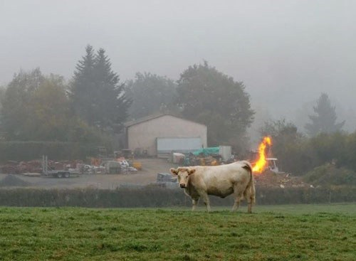wtf flames funny cows - 7896581376