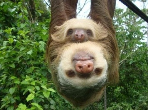 cute hanging naps sloths squee - 7896750080