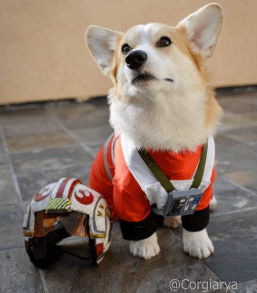 Arya the Corgi is a Total Nerd