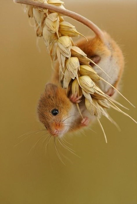 cute grains mice lunch wheat