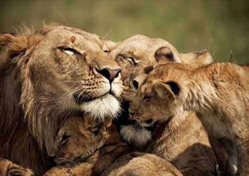 cute,family,lions,pride,squee