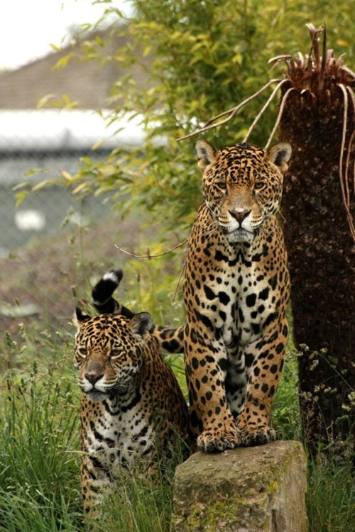 jaguars jungle beautiful - 7901113344