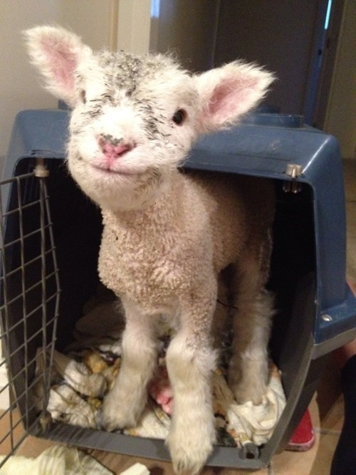 cute happy lambs smile - 7901128960