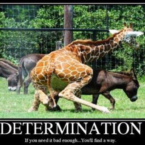 funny giraffes determination