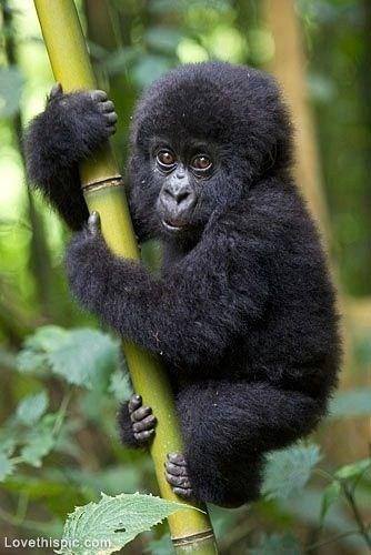 Babies cute gorillas - 7901361664