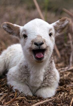 Babies cute kids goats bleat - 7901366016