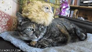 Cat's Chicken Hat