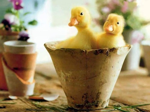 cute ducks ducklings plants squee - 7903980032