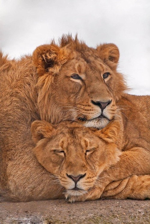 lions snuggle cute sleep love - 7903984128