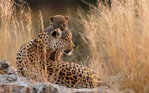 Babies,desert,cute,big cats,leopards,spots