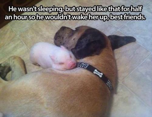 cute dogs friends gentle piglets love - 7905736192