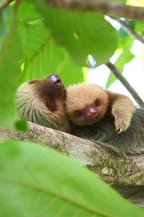 Babies,snuggle,cute,sloths,love