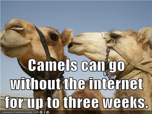 Camels can go without the internet for up to three weeks.