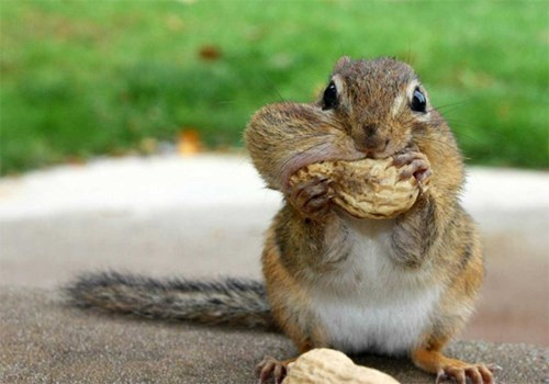 chipmunks,cute,peanuts,rodents,winner,squee spree,squee