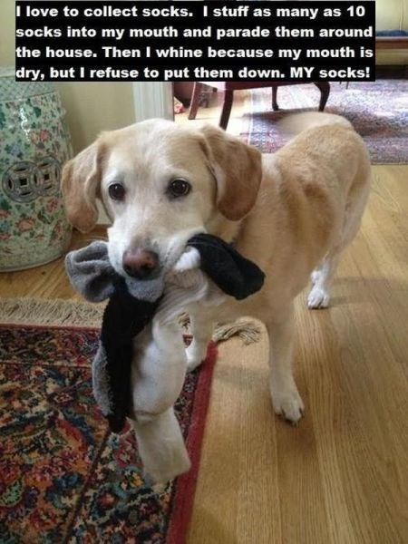 dogs,socks,cute,habits,obsessed