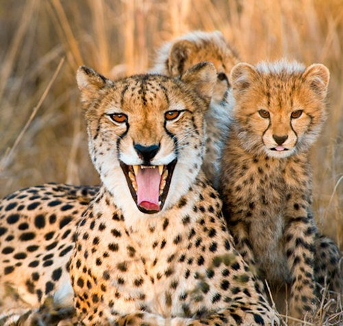 cheetahs cute kitten mom protect - 7908101888