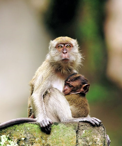 baby cute monkeys mama - 7908102656