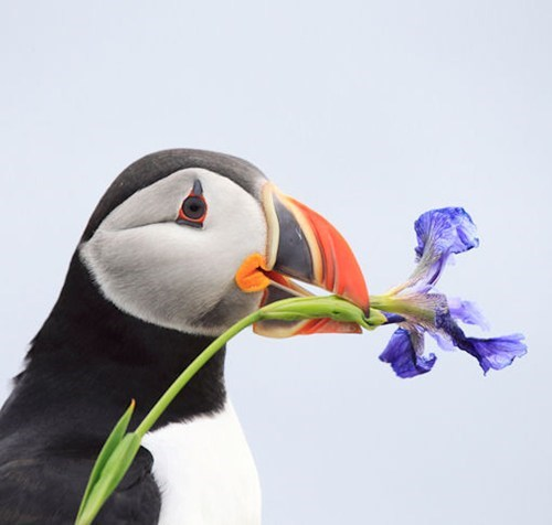 birds flowers pretty squee puffins - 7908104960