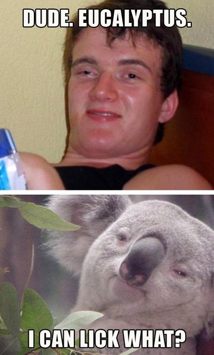 10 guy animals Memes koala bear super high guy - 7908807936