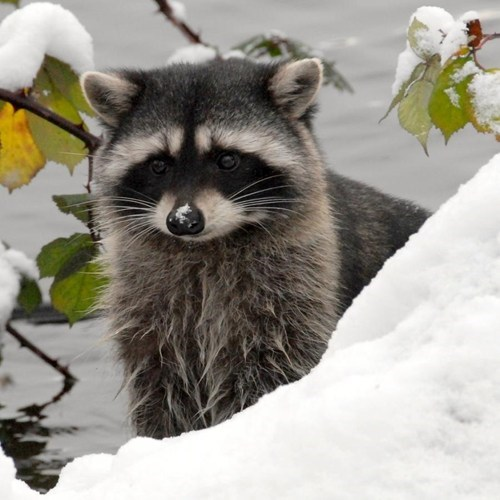 snow cute winter raccoons squee - 7908848384