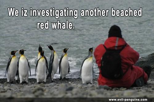 penguins beach touché research whales - 7909780224