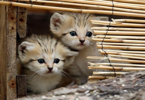 cute kitten sand cats - 7910754560