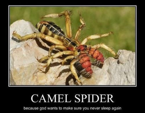 animals,funny,scary,wtf,camel spider