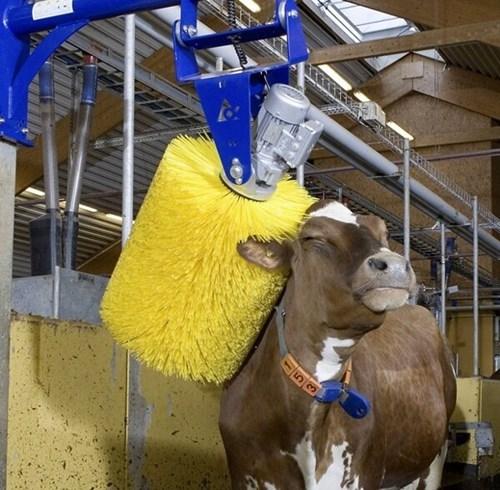 cute brush cows scratch - 7913341184