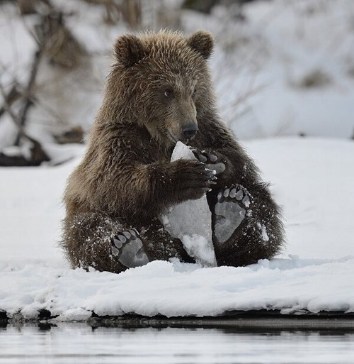 cute,bears,cold,snow,popsicle