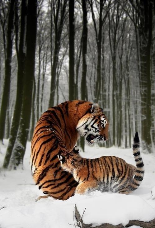baby cute snow play tigers mama - 7916545024