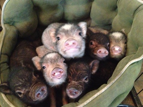A basket full of pigs!