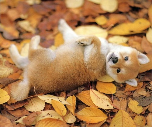 autumn dogs fall leaves puppies - 7917680640