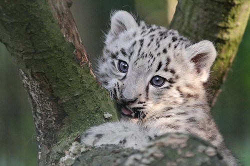 cute climb cub tree squee snow leopard - 7919494656