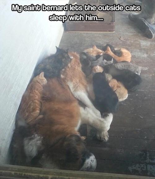 Cats dogs pile kitten outside saint bernards - 7922055936